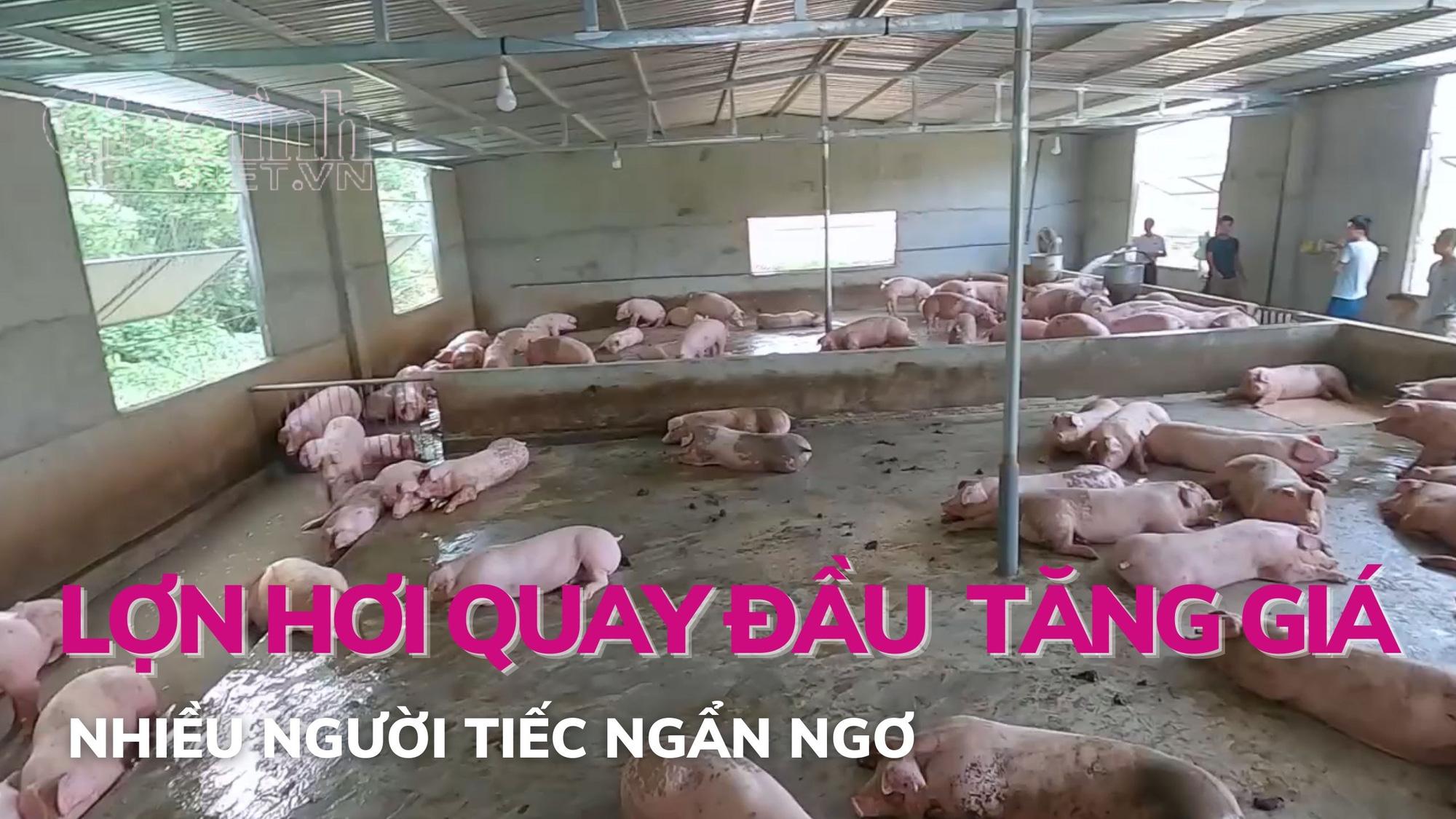 Lợn hơi quay đầu tăng giá, nhiều người tiếc ngẩn ngơ