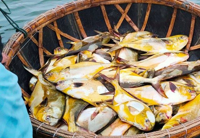 Kéo mẻ lưới bắt 300 con cá vàng rực, bán cả mớ thu 600 triệu đồng - Ảnh 2.