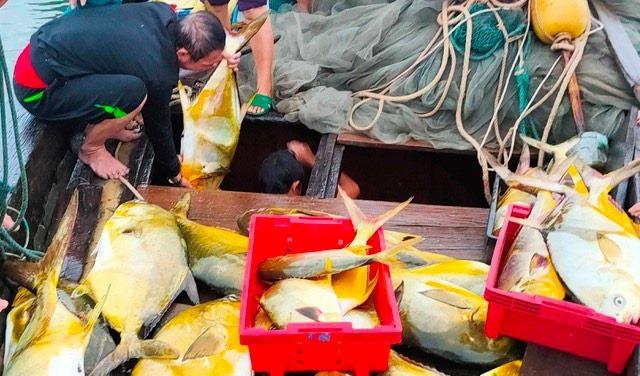Kéo mẻ lưới bắt 300 con cá vàng rực, bán cả mớ thu 600 triệu đồng - Ảnh 3.