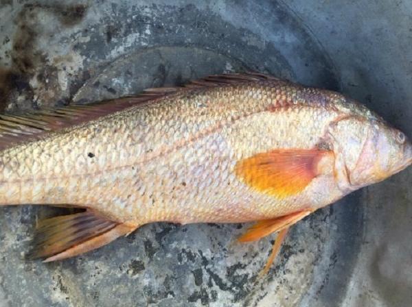 Sự thật về sủ vàng - loài cá quý hàng tỷ đồng ở Việt Nam - Ảnh 11.