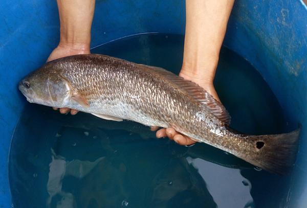 Sự thật về sủ vàng - loài cá quý hàng tỷ đồng ở Việt Nam - Ảnh 3.