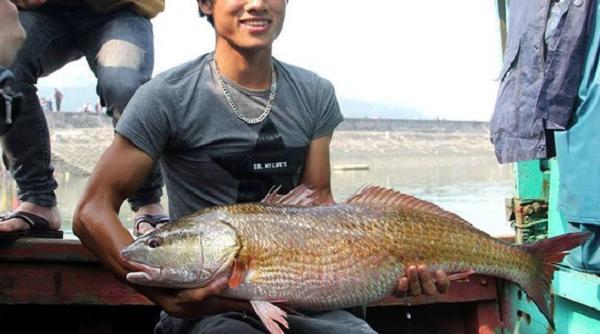 Sự thật về sủ vàng - loài cá quý hàng tỷ đồng ở Việt Nam - Ảnh 8.