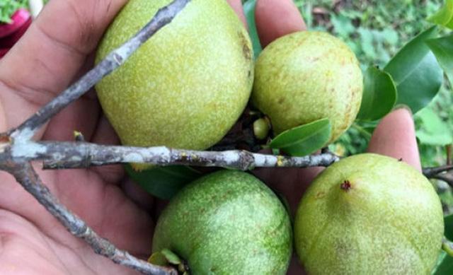 4 loại quả rừng giá chát vẫn được lùng mua - Ảnh 11.