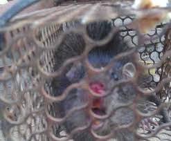 Rùng mình với đặc sản tăng cường sinh lực mà dân Việt phát kiến được làm từ bộ phận nhạy cảm của con chuột - Ảnh 7.