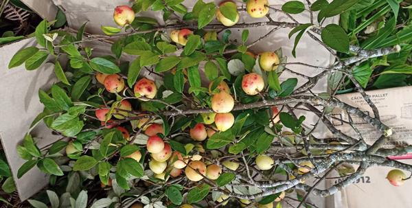 Thú chơi lạ ngày dịch của dân Hà thành: Bỏ tiền mua nguyên cành cây mọc ở miền núi về cắm, chín thì ăn hoặc ngâm rượu - Ảnh 2.