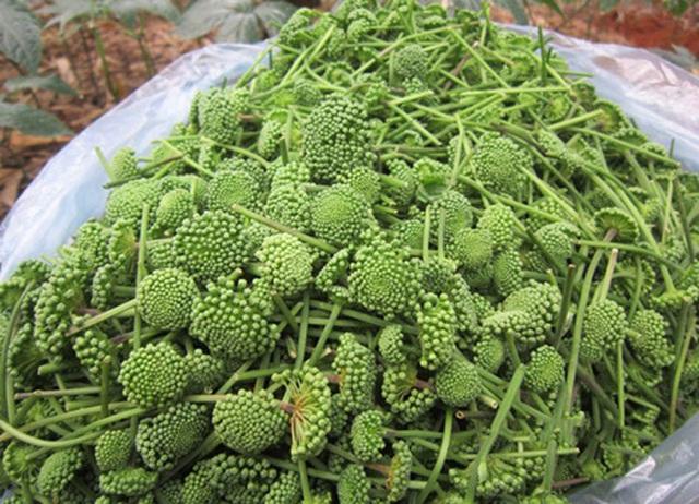 """Dân Việt """"xếp hàng"""" chờ cả tuần để đặt mua nụ của loài hoa này về làm rau ăn - Ảnh 4."""