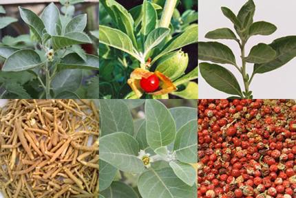 """Công dụng thần diệu của loại thảo dược có tên trong """"sách tình dục kinh điển"""" hơn 4.000 năm của Ấn Độ 1"""