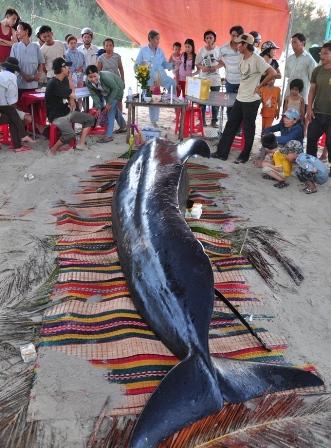 Cá voi nặng gần 1 tấn bên bờ biển Quảng Nam 2