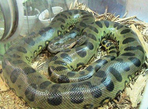 Trăn Anaconda xanh Nam Mỹ.