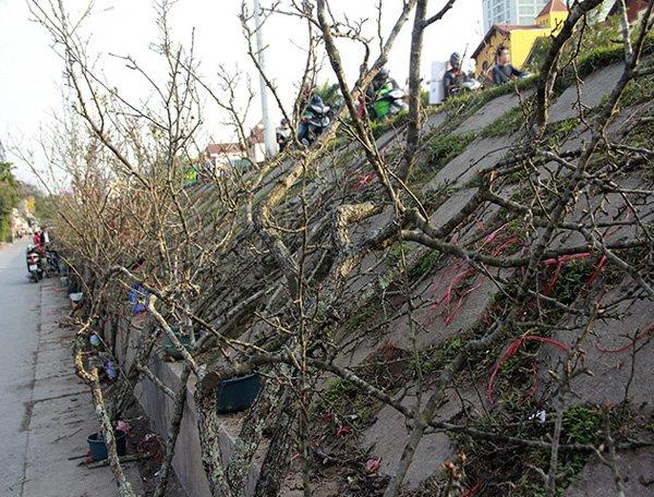 Lê rừng được bày bán nhiều ở chợ Quảng An (Tây Hồ).