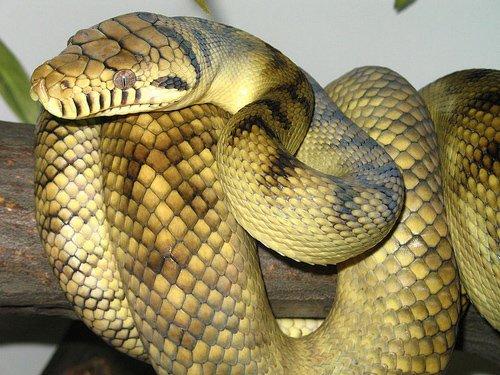 Rắn ngọc tía - loài rắn địa phương lớn nhất châu Úc.