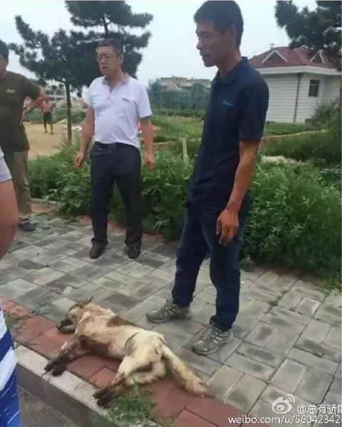 Chú chó đã chết sau khi bọ kéo cả 1 quãng đường.