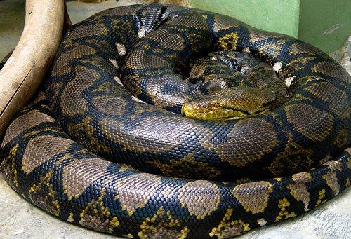 Một con trăm gấm trưởng thành có thể đạt độ dài cơ thể thuộc hàng dài nhất họ nhà rắn.