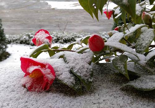 Chậu hoa cảnh của bộ đội biên phòng ở xã Y Tý bị tuyết phủ. Ảnh:Hoàng Phương.