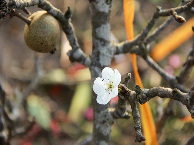 Theo anh Trường, một cành lê đẹp phải là cành già có tay dày và trên cành phải có nụ, hoa, lá, quả…