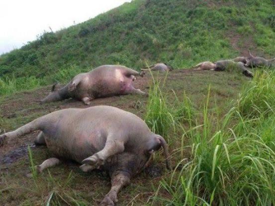 Trâu bò chết hàng loạt trên đồi.