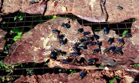 Thậm chí, thịt bò ôi thiu, để lâu ngày vẫn có thể bán được nếu hạ giá và tân trang bằng cách bôi tiết lên cho miếng thịt đỏ au. (Ảnh: VTC 16)