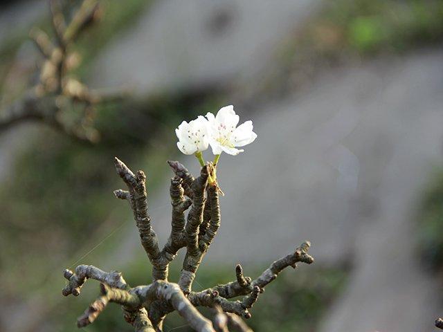 Lê rừng tứ quý có thể chơi được đến tháng 2 âm lịch.