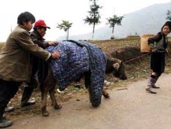 Người dân dùng chăn để chống rét cho trâu, bò.