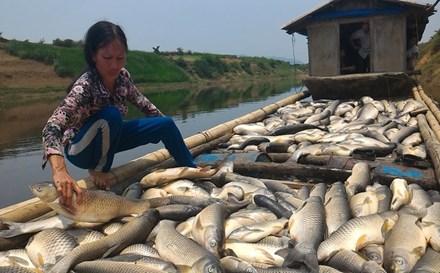 Người dân gom cá chết trong bè cá của mình. Ảnh: Vnexpress