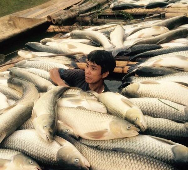Cá chết, người ngập trong nợ nần. Ảnh: TL