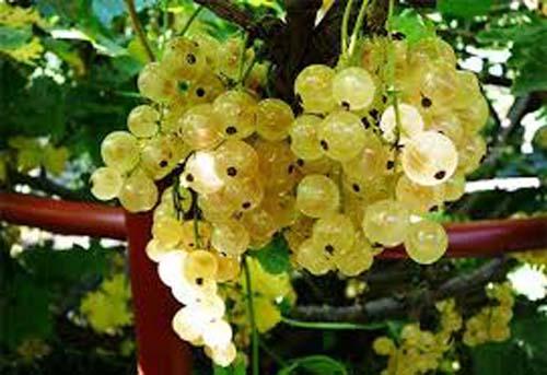Nho chuỗi ngọc sang chảnh khi về đến Việt Nam có giá lên đến 2 triệu đồng/kg. Thực chất, ở châu Âu đây chỉ là loại quả cây bụi dùng để làm mứt hoặc trang trí bánh, có giá chỉ vài trăm nghìn 1 kg.