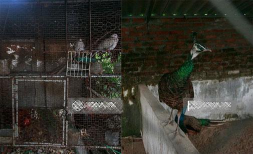 Và nuôi các loại gia cầm, chim cảnh,…