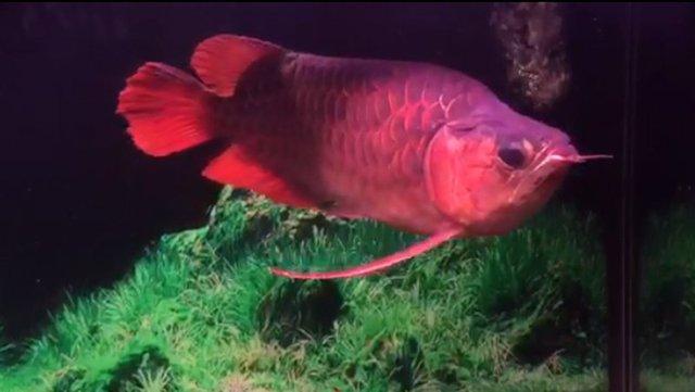Một con cá Rồng thuộc dòng Fafu huyết lớn được định giá vào khoảng 15.000 đô la Mỹ (Ảnh: K.L)