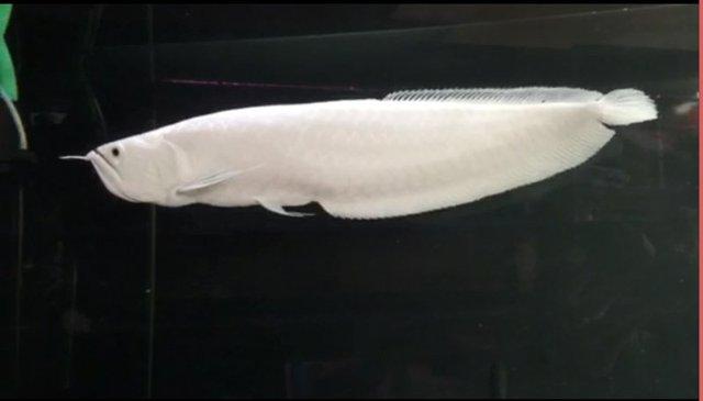 Một con cá rồng Bạch Long thuộc vào hàng hiếm có giá lên tới cả trăm triệu.