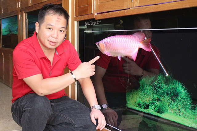 Anh Vũ Kiều Ly người nổi tiếng trong giới chơi sinh vật cảnh bởi bộ sưu tập cá rồng khủng với nhiều con thuộc vào hàng hiếm.