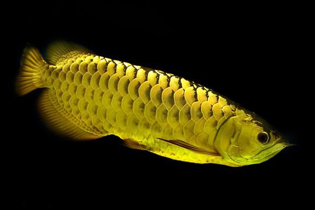 Cá rồng quá bối 24K cả thân hình lấp lánh như một thỏi vàng quý nên nhiều người quan niệm sở hữu được một chú cá này sẽ mang đến nhiều tài lộc (Ảnh: K.L)