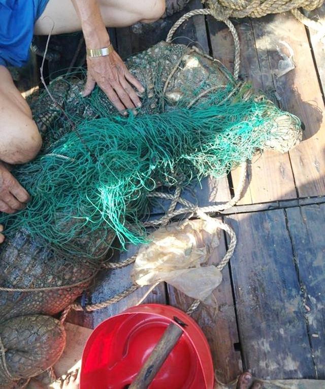 Cá sấu nặng khoảng 70 kg đã bị công an cùng người dân tóm gọn. Ảnh: Nhật Tân.