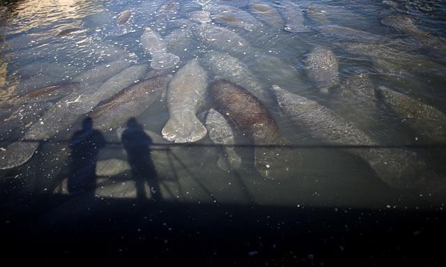 Theo Science World Report, cái chết của 829 con lợn biển ở Florida vào năm 2013 được ghi nhận là do thủy triều đỏ gây ra. Những con lợn này chết sau khi ăn cỏ biển nhiễm độc tố từ tảo. Ảnh:Reuters.