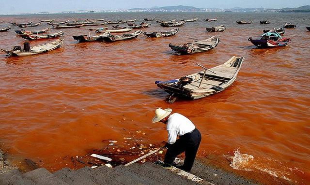 Cá mòi dầu chết hàng loạt ở vịnh Greenwich, Rhode Island, Mỹ, vào tháng 8/2013 do tảo bùng nổ, làm cạn khí oxy trong nước. Ảnh:Chris Deacutis.