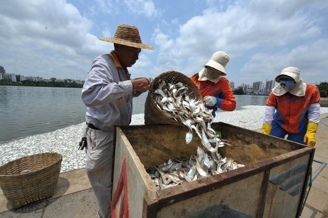 Các công nhân đang dọn số cá chết khỏi hồ.