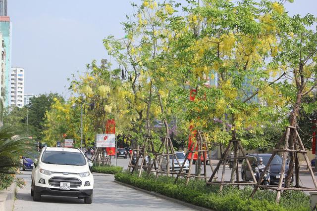 Dọc con đường Hoàng Minh Giám, không khó để bắt gặp những cây hoa hoàng yến tuy khẳng khiu, nhỏ bé, nhưng lại nổi bật bởi những chùm hoa vàng trĩu.