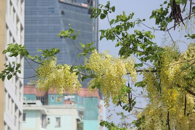 Hoa hoàng yến xuất hiện tại Hà Nội khoảng 4 năm trở lại đây.