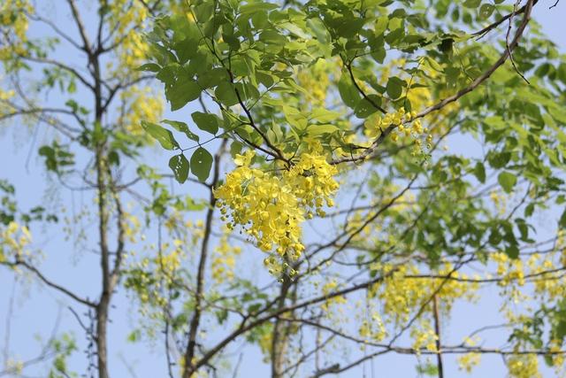 Hoàng yến là quốc hoa của Thái Lan. Tại đây nó được gọi là dok khuen, màu hoa vàng tượng trưng cho Hoàng gia.