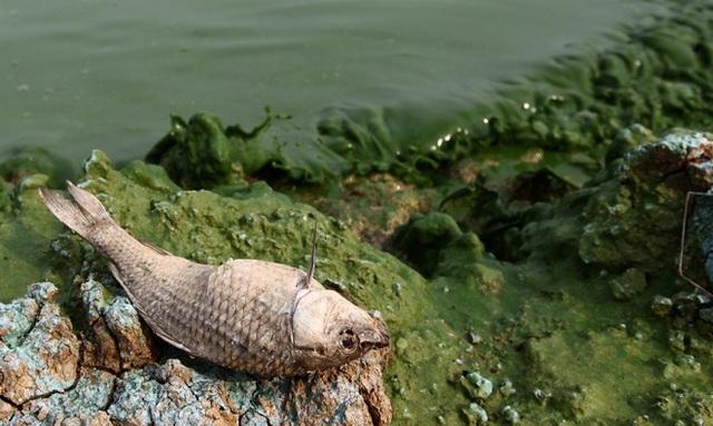 Tảo màu xanh lá nở ở hồ nước ngọt lớn thứ 5 của Trung Quốc tại tỉnh An Huy, dẫn đến tình trạng cá chết hàng loạt vào tháng 5/2010. Ảnh:Anhui News.