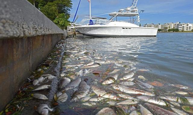 Cá chết dồn đống gần Trung tâm Giải trí Bãi biển St. Pete ở vịnh Boca Ciega, Florida, Mỹ, vào tháng 12/2015. Nguyên nhân là do thủy triều đỏ làm cá chết ngạt. Ảnh:Sun Coast News.