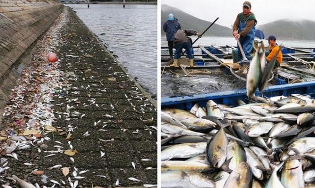 Tháng 12/2015, 36 tấn cá chết dạt vào cửa sông Shing Mun, Sha Tin, Hong Kong, do thủy triều đỏ bắt nguồn từ sự nở rộ của loài tảo độc tên Karenia papilionacea, theo South China Morning Post. Ảnh:SCMP.