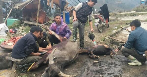 Lào Cai: Xót xa làm thịt trâu, nghé chết rét, thịt bày bán la liệt