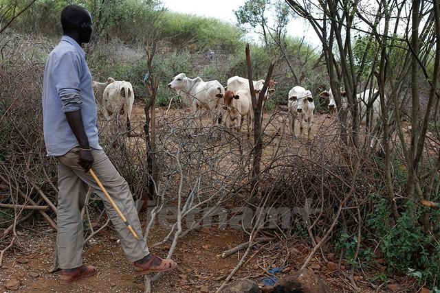 Một người cha kiểm tra đàn bò lễ vật trong cuộc hôn nhân sắp đặt của con gái mình.Ảnh: Siegfried Modola/Reuters