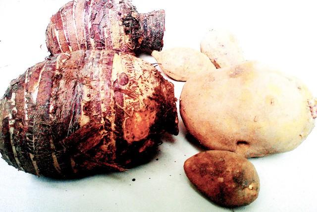 Những củ khoai tây, khoai môn to hơn rất nhiều khi đặt cạnh những củ khoai bình thường. Ảnh: M.H
