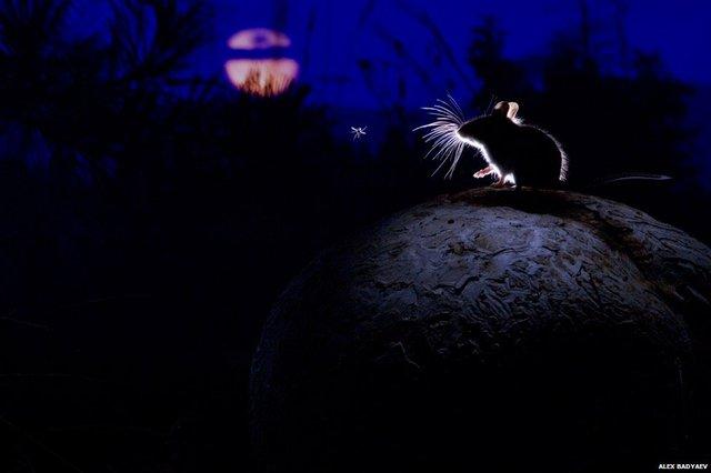 Alex Badyaev, Mỹ đã đạt giải thưởng nhiếp ảnh với cảnh chúchuột trên một cây nấm ở phía tây Montana.