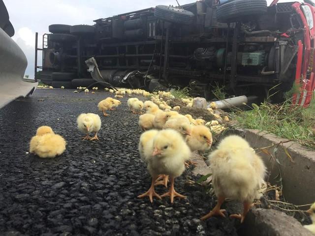 Rất nhiều con gà con đã bị chết. (Nguồn: CCTVNews)