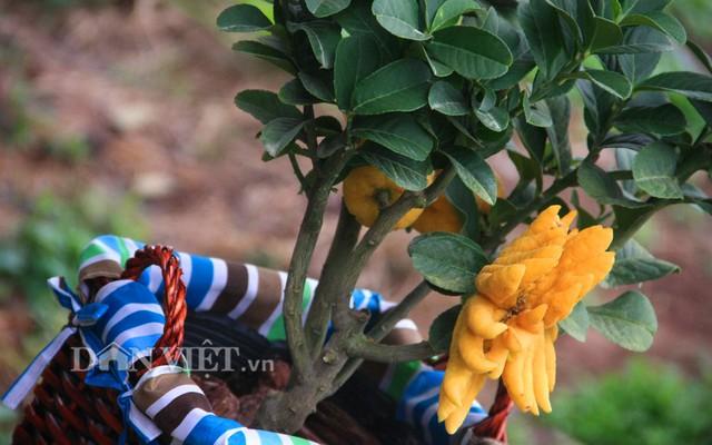 Hình dáng cây phật thủ bonsai giá hơn chục triệu.