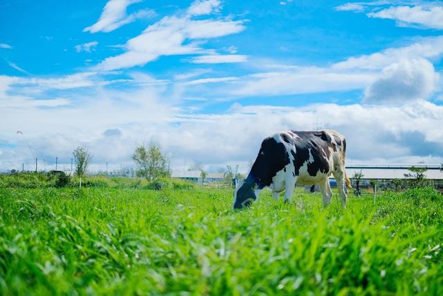 Bò được tự do thưởng thức nguồn thức ăn 100% organic giữa khí hậu trong lành của Đà Lạt.