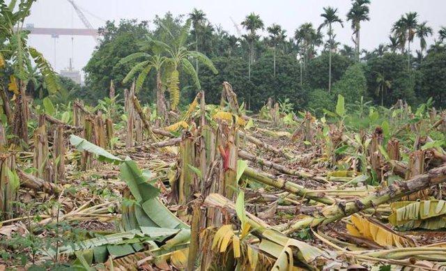 Hơn 3000 cây chuối bị nhóm côn đồ hạ gục trong đêm. Ảnh: Đ.Tuỳ