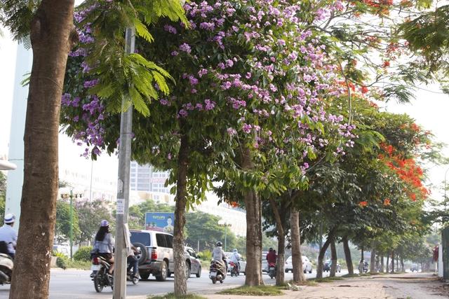 Bằng lăng là loại cây được trồng khá nhiều ở Hà Nội.
